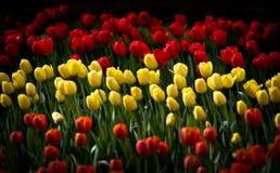 Tulipas giallo e rosso   Fotografia Stock