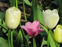Tulipas isoladas do rosa e as brancas com palha de canteiro foto de stock royalty free