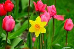 Tulipas & jardim do narciso amarelo Imagens de Stock Royalty Free