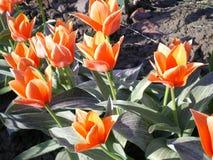 Tulipas laranja-vermelhos com as folhas listradas verdes imagens de stock