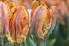 Tulipas Multi-coloridas vibrantes Foto de Stock