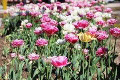 Tulipas na cama de flor da cidade muitas tulipas na cor branca e cor-de-rosa fotografia de stock royalty free
