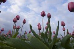 Tulipas na flor Foto de Stock Royalty Free