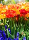 Tulipas na flor completa em Albany NY Washington Park Foto de Stock