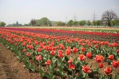 Tulipas na flor completa em Tulip Garden em Kashmir Vermelho e amarelo em Tulip Garden a maior de Ásia fotos de stock royalty free