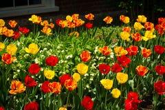 Tulipas na primavera Imagem de Stock Royalty Free