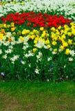 Tulipas, narcisos amarelos e campainhas Imagens de Stock