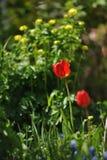Tulipas no canteiro de flores Fotos de Stock Royalty Free
