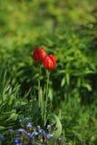Tulipas no canteiro de flores Imagens de Stock Royalty Free