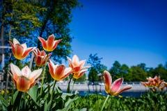 Tulipas no Central Park da cultura e do resto de St Petersburg imagens de stock royalty free