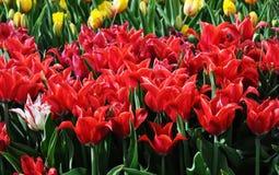 Tulipas no jardim na flor Fotografia de Stock