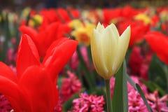 Tulipas que florescem no jardim fotografia de stock royalty free