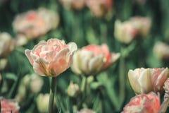 Tulipas que florescem no sol da primavera Fotos de Stock
