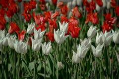 Tulipas que florescem no sol da primavera Foto de Stock Royalty Free