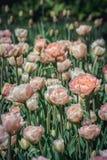 Tulipas que florescem no sol da primavera Imagem de Stock Royalty Free