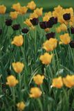 Tulipas que florescem no sol da primavera Fotografia de Stock Royalty Free