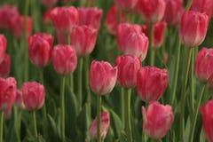Tulipas que florescem no sol da primavera Foto de Stock