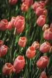 Tulipas que florescem no sol da primavera Fotografia de Stock
