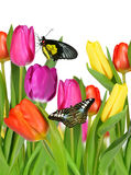 Tulipas roxas, amarelas e vermelhas Imagem de Stock