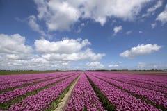 Tulipas roxas coloridas Fotografia de Stock Royalty Free