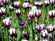 Tulipas roxas e brancas no campo Fotografia de Stock