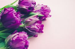 Tulipas roxas no fundo cor-de-rosa Fotografia de Stock Royalty Free