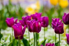 Tulipas roxas no jardim Imagem de Stock Royalty Free