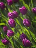Tulipas roxas no jardim Imagens de Stock Royalty Free