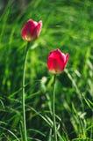Tulipas selvagens cor-de-rosa brilhantes no fundo de um prado verde do verão imagens de stock