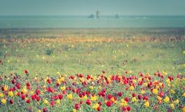 Tulipas selvagens de vermelho e de amarelo na grama verde Fotos de Stock