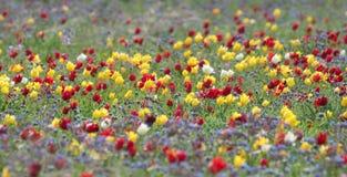 Tulipas selvagens de vermelho e de amarelo na grama verde Foto de Stock