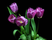 Tulipas, tulipas, rosa, lilás, verde, fundo, preto, vermelho, roxo, folhas, mola Imagens de Stock Royalty Free