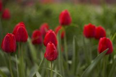 Tulipas vermelhas Imagens de Stock Royalty Free