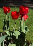 Tulipas vermelhas Imagem de Stock