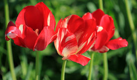 Tulipas vermelhas Foto de Stock Royalty Free