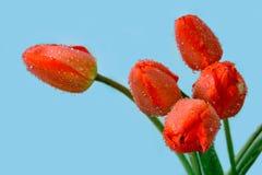 Tulipas vermelhas Imagem de Stock Royalty Free