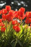 Tulipas vermelhas Imagens de Stock
