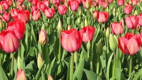 Tulipas vermelhas Fotografia de Stock Royalty Free
