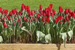 Tulipas vermelhas Foto de Stock