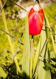 Tulipas vermelhas Fotos de Stock Royalty Free