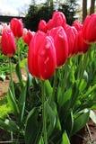 Tulipas vermelhas fotografia de stock