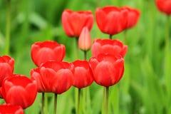 Tulipas vermelhas Fotos de Stock