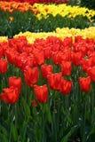 Tulipas vermelhas & amarelas fotografia de stock