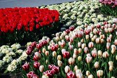 Tulipas vermelhas, amarelas e coloridas no parque Fotografia de Stock Royalty Free