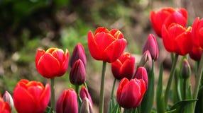 Tulipas vermelhas Amarelo-orlaradas Imagem de Stock