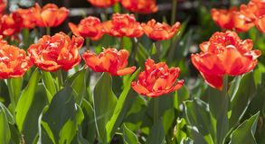 Tulipas vermelhas bonitas na mola fotografia de stock