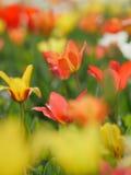 Tulipas vermelhas bonitas no jardim Foto de Stock Royalty Free