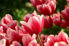 Tulipas vermelhas brilhantes no canteiro de flores no sol Imagens de Stock