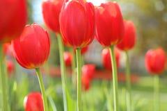Tulipas vermelhas brilhantes no jardim Imagens de Stock