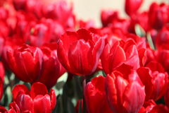 Tulipas vermelhas brilhantes no jardim no sol Imagens de Stock
